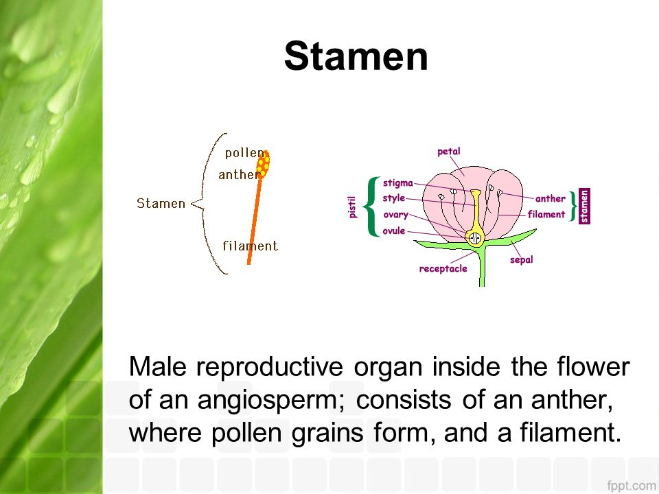 Stamen Male reproductive organ inside the flower of an angiosperm; consists of an anther, where pollen grains form, and a filament.