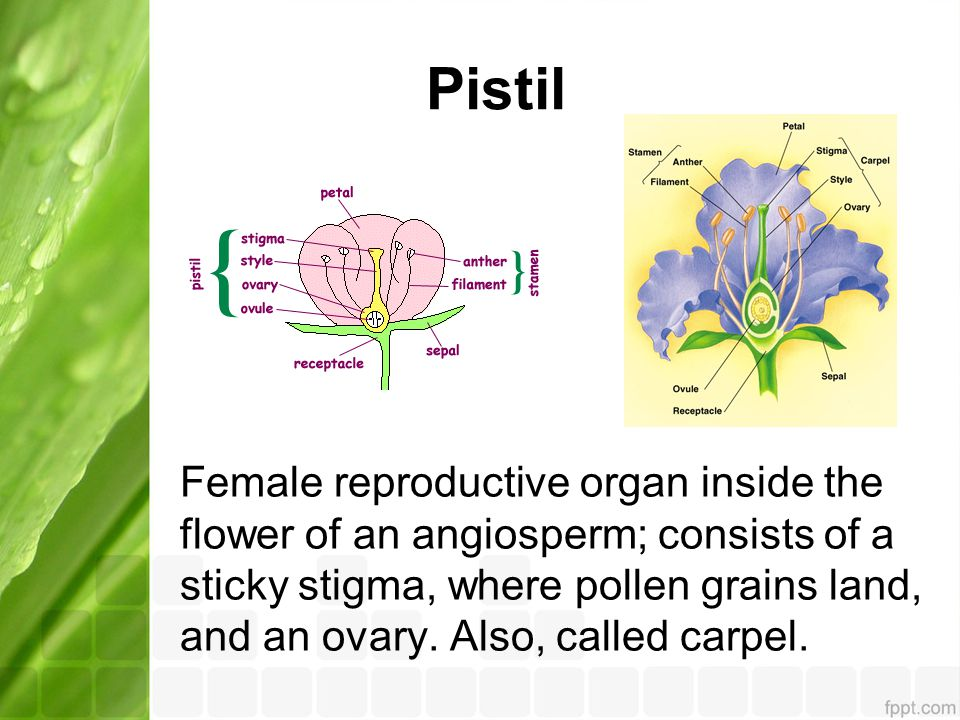 Pistil Female reproductive organ inside the flower of an angiosperm; consists of a sticky stigma, where pollen grains land, and an ovary. Also, called