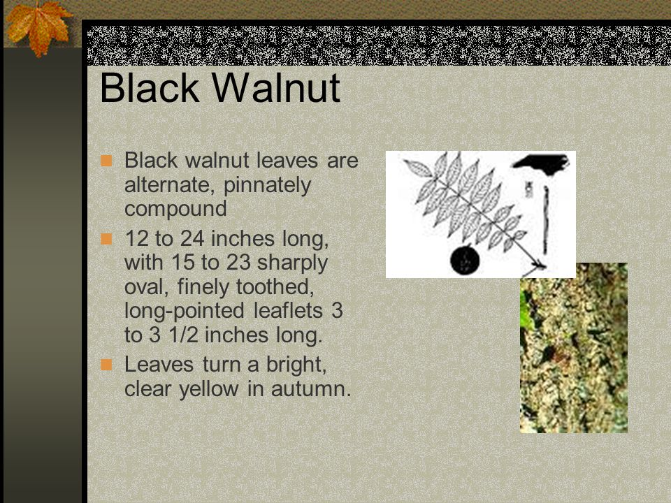 Black Walnut Black walnut leaves are alternate, pinnately compound 12 to 24 inches long, with 15 to 23 sharply oval, finely toothed, long-pointed leaflets 3 to 3 1/2 inches long.