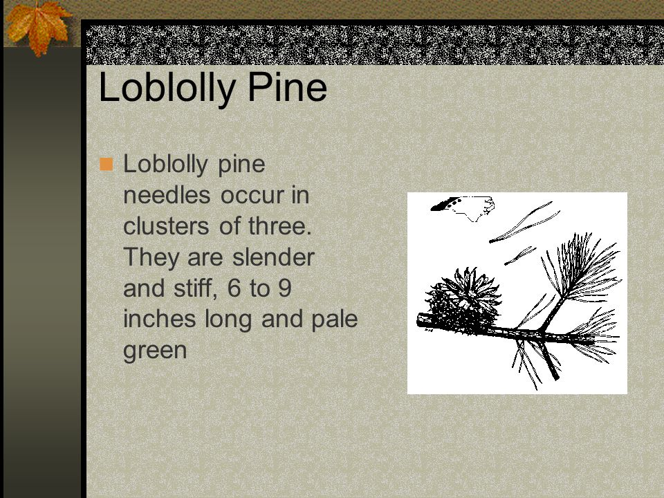 Loblolly Pine Loblolly pine needles occur in clusters of three.