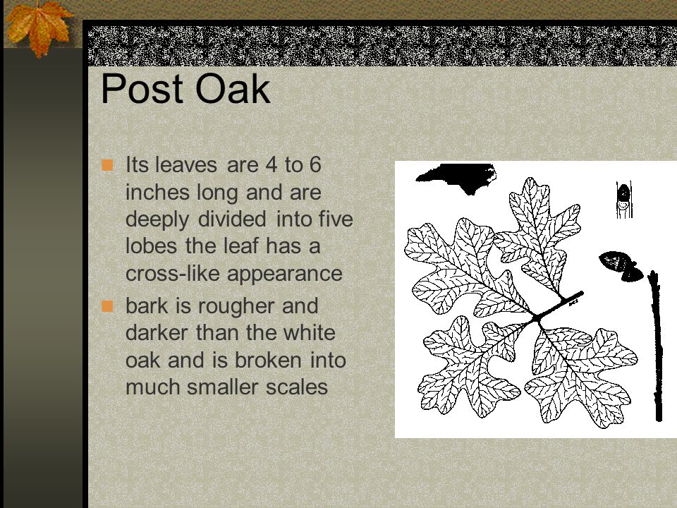 Post Oak Its leaves are 4 to 6 inches long and are deeply divided into five lobes the leaf has a cross-like appearance bark is rougher and darker than the white oak and is broken into much smaller scales