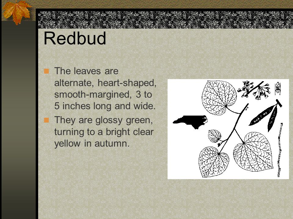 Redbud The leaves are alternate, heart-shaped, smooth-margined, 3 to 5 inches long and wide.