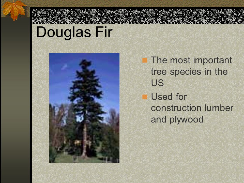 Douglas Fir The most important tree species in the US Used for construction lumber and plywood