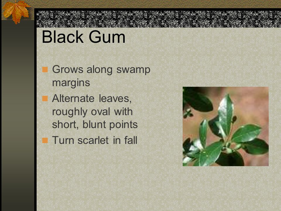 Black Gum Grows along swamp margins Alternate leaves, roughly oval with short, blunt points Turn scarlet in fall