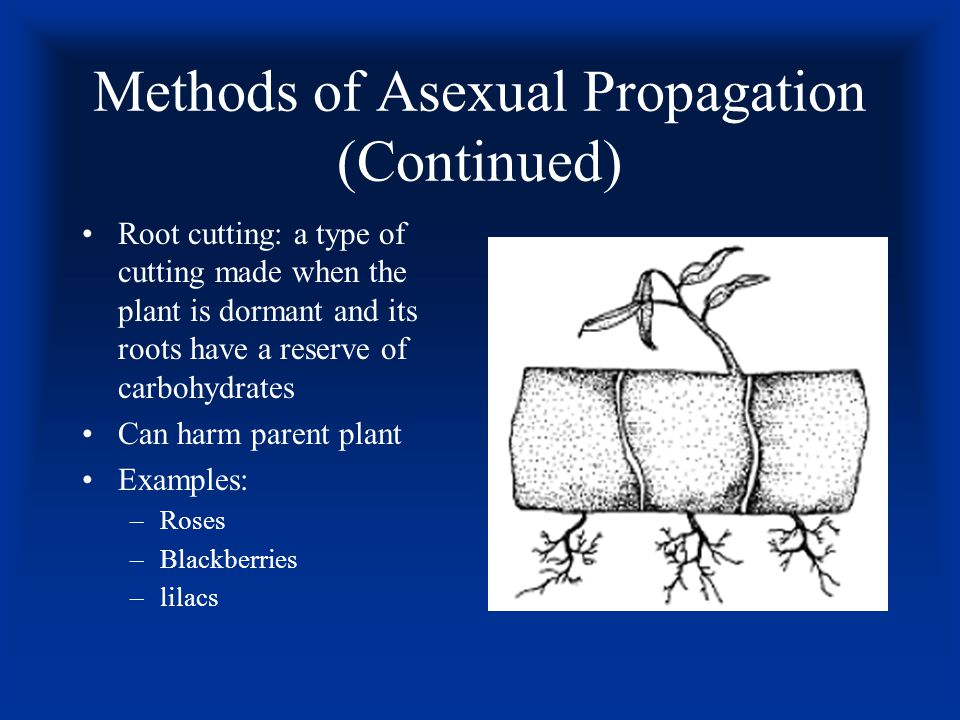 Methods of Asexual Propagation (Continued) Grafting: joining two plants together as they grow as one –T-budding is the most common type