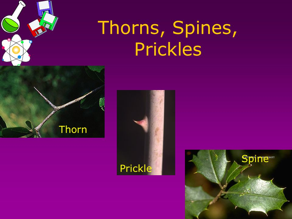 Thorns, Spines, Prickles Thorn Prickle Spine
