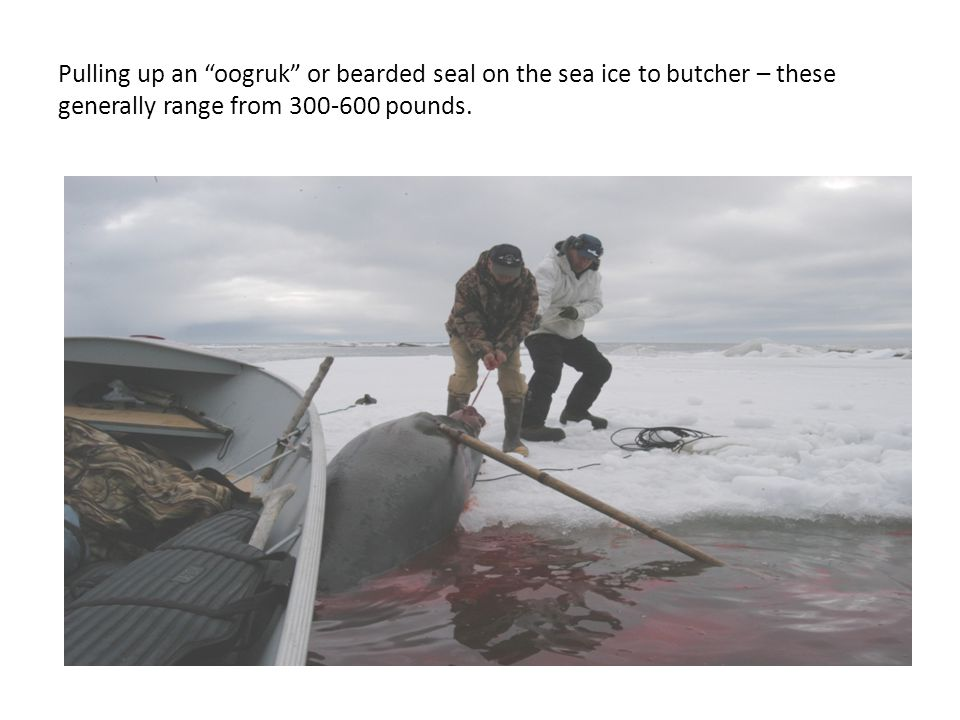 Pulling up an oogruk or bearded seal on the sea ice to butcher – these generally range from 300-600 pounds.