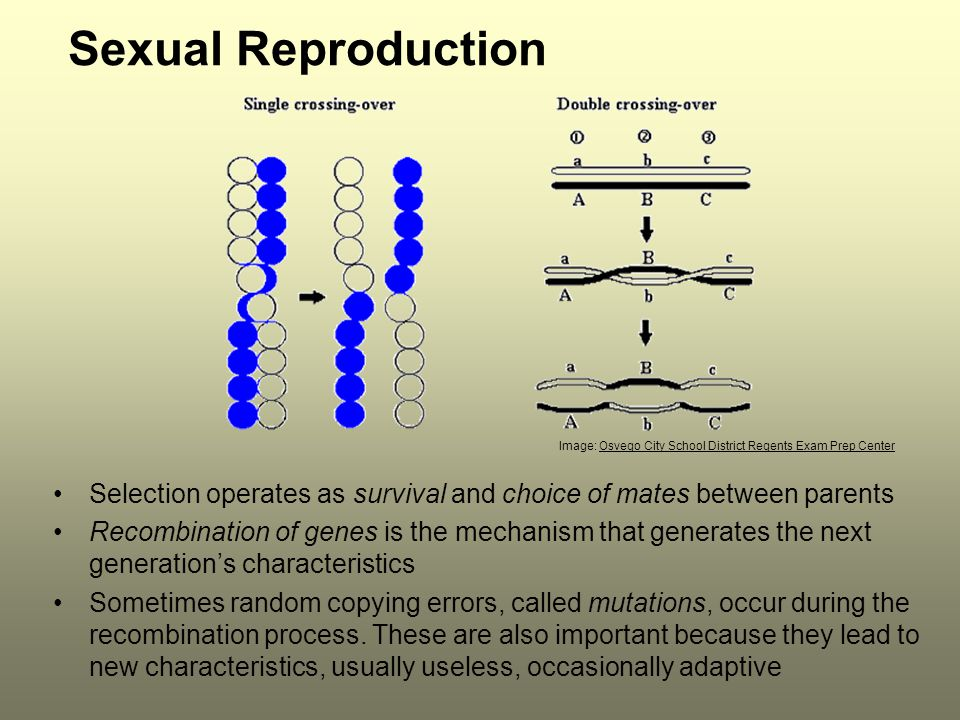 Sexual Reproduction Selection operates as survival and choice of mates between parents Recombination of genes is the mechanism that generates the next generation's characteristics Sometimes random copying errors, called mutations, occur during the recombination process.
