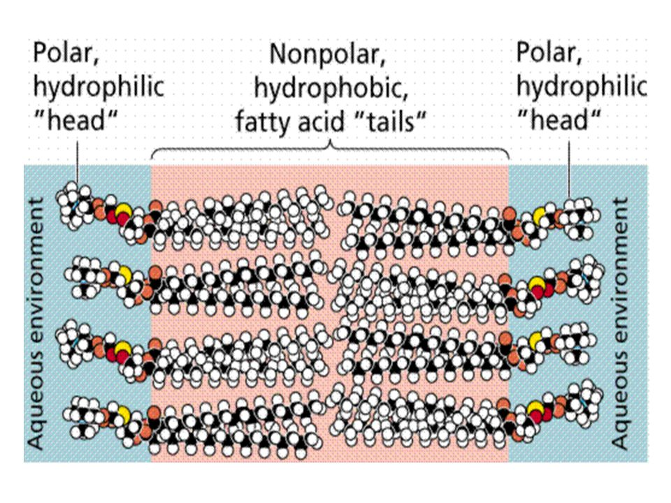 Cell Membrane Hydrophobic molecules pass easily; hydrophillic DO NOT The cell membrane is made of 2 layers of phospholipids called the lipid bilayer