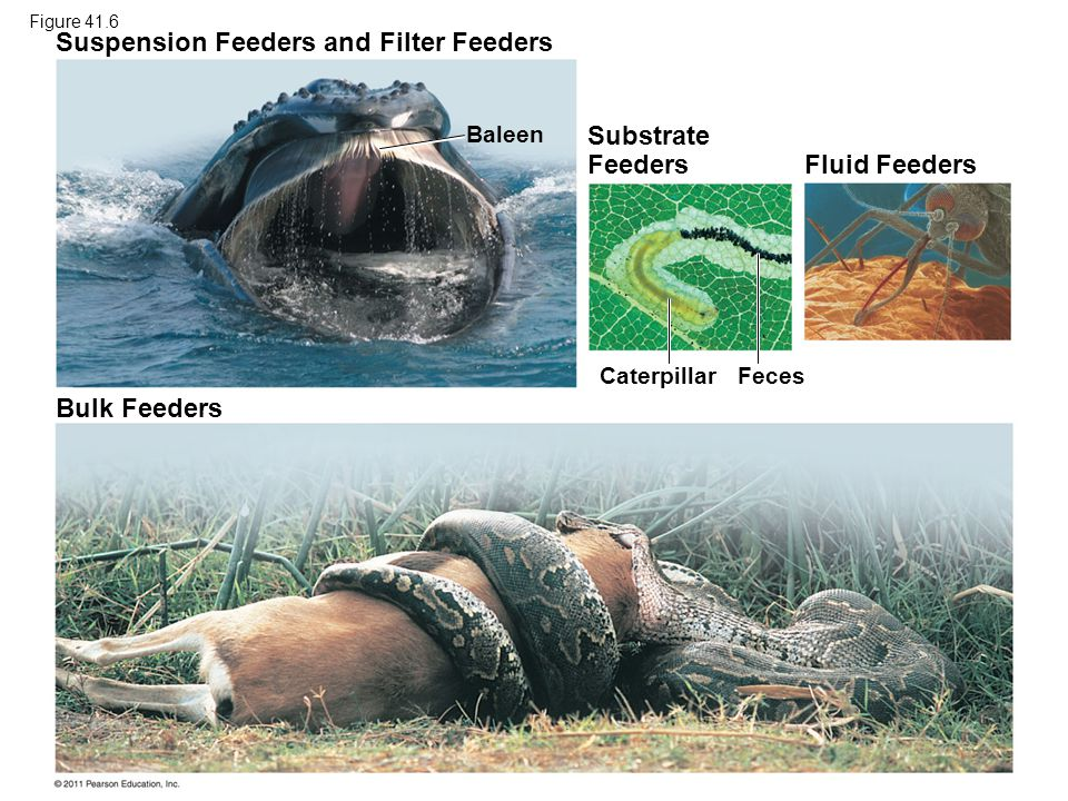 Bulk Feeders Suspension Feeders and Filter Feeders Fluid Feeders Baleen Feces Caterpillar Substrate Feeders Figure 41.6