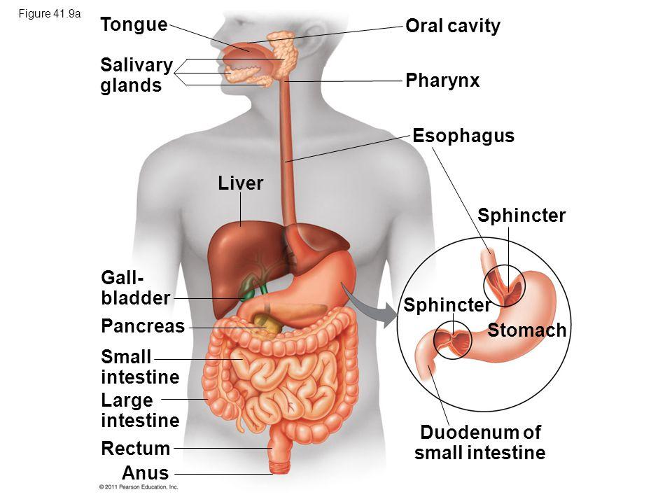 Liver Salivary glands Gall- bladder Esophagus Pharynx Oral cavity Sphincter Tongue Pancreas Small intestine Large intestine Rectum Anus Sphincter Stomach Duodenum of small intestine Figure 41.9a