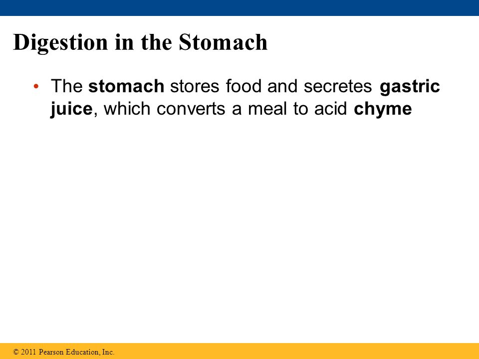 Digestion in the Stomach The stomach stores food and secretes gastric juice, which converts a meal to acid chyme © 2011 Pearson Education, Inc.