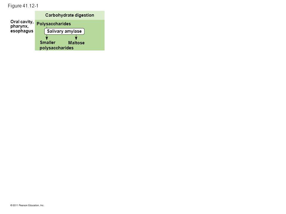 Figure 41.12-1 Carbohydrate digestion Polysaccharides Salivary amylase Smaller polysaccharides Maltose Oral cavity, pharynx, esophagus