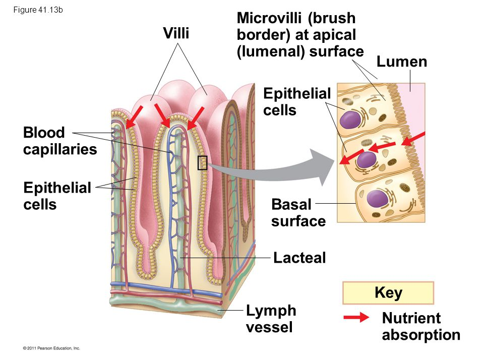 Key Nutrient absorption Blood capillaries Epithelial cells Villi Microvilli (brush border) at apical (lumenal) surface Epithelial cells Lumen Basal surface Lacteal Lymph vessel Figure 41.13b