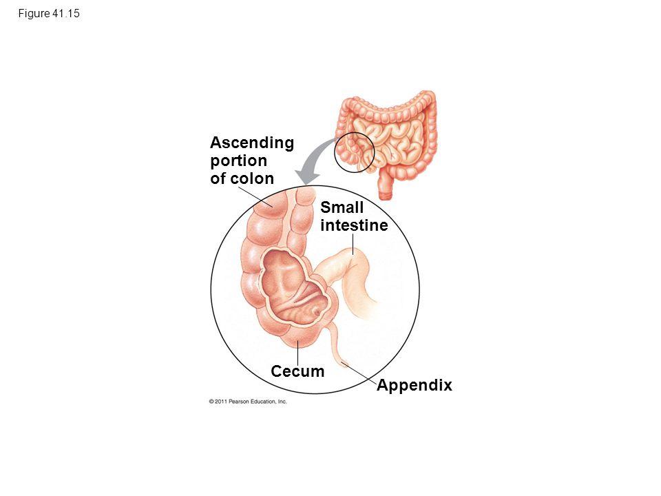 Figure 41.15 Ascending portion of colon Small intestine Appendix Cecum