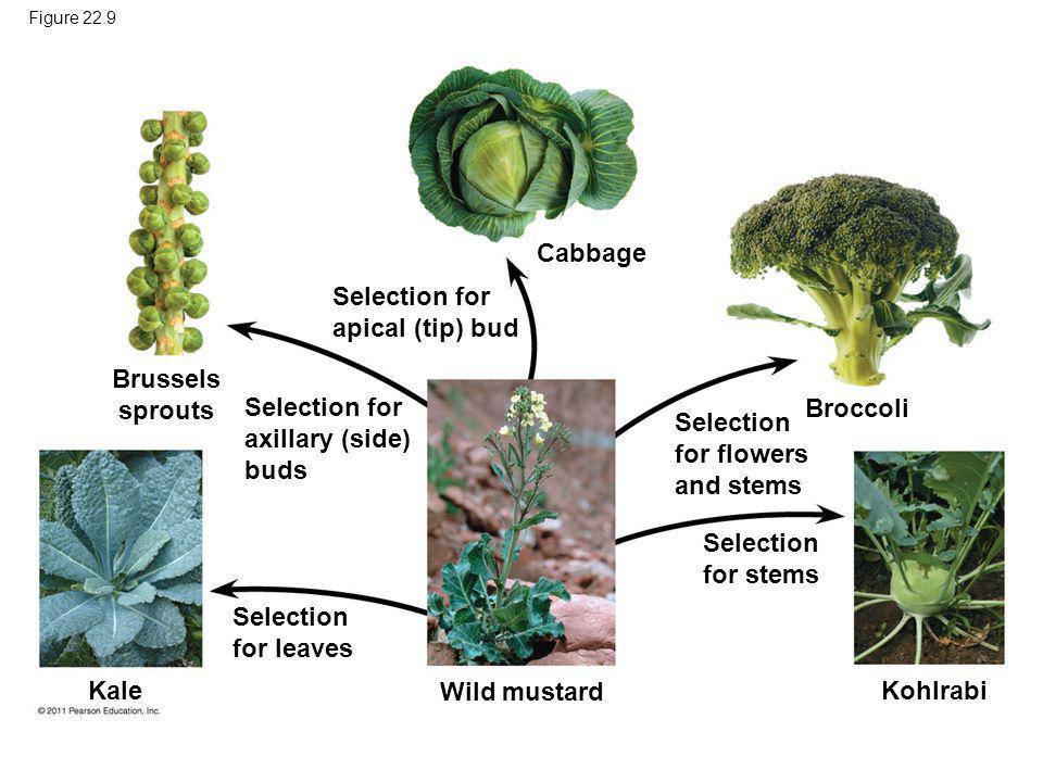 Figure 22.9 Brussels sprouts Kale Selection for leaves Selection for axillary (side) buds Selection for apical (tip) bud Cabbage Broccoli Kohlrabi Wil