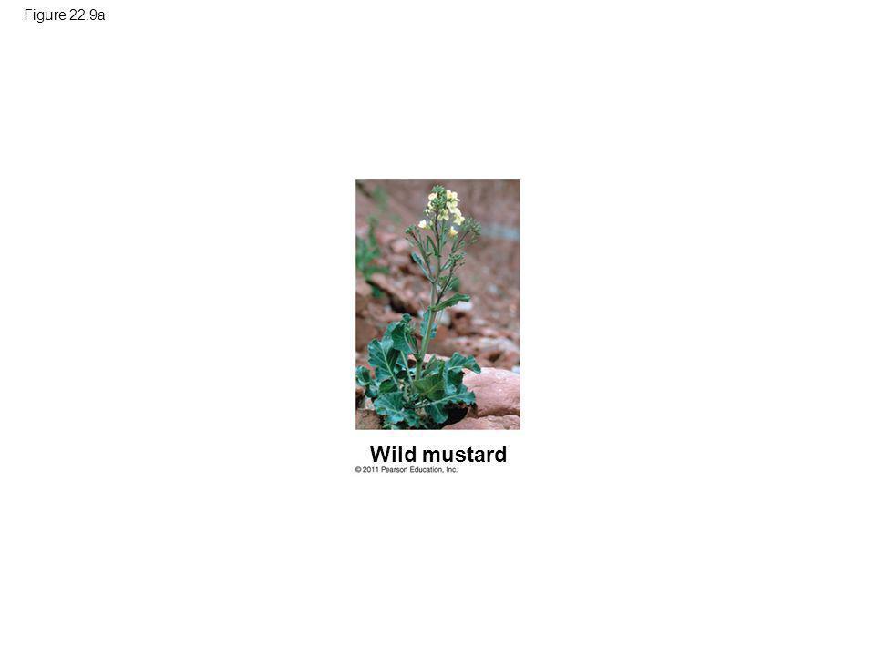 Figure 22.9a Wild mustard