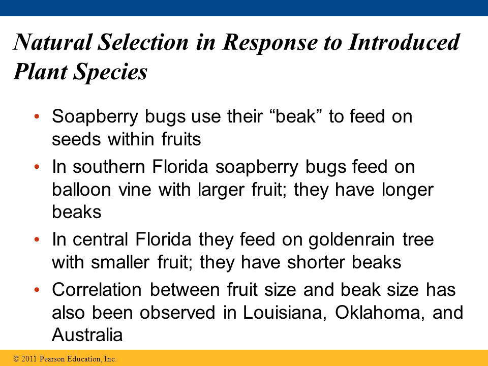 "Natural Selection in Response to Introduced Plant Species Soapberry bugs use their ""beak"" to feed on seeds within fruits In southern Florida soapberry"