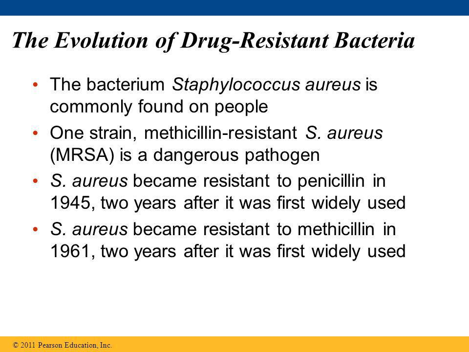 The Evolution of Drug-Resistant Bacteria The bacterium Staphylococcus aureus is commonly found on people One strain, methicillin-resistant S. aureus (