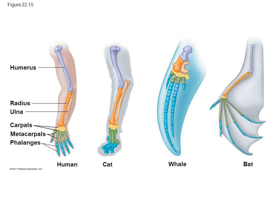 Figure 22.15 Humerus Radius Ulna Carpals Metacarpals Phalanges Human Cat Whale Bat
