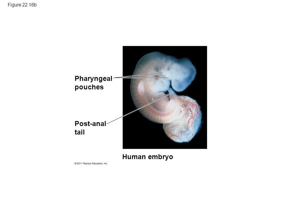 Figure 22.16b Pharyngeal pouches Post-anal tail Human embryo