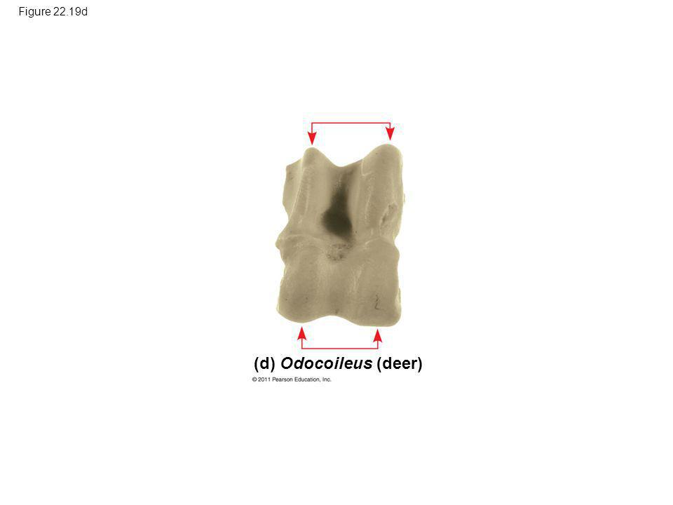 Figure 22.19d (d) Odocoileus (deer)