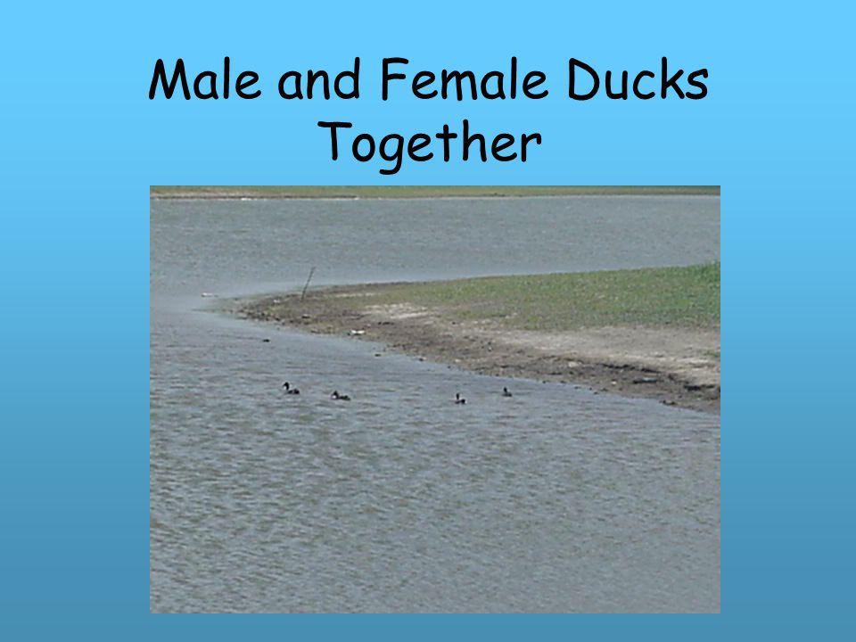 Male and Female Ducks Together