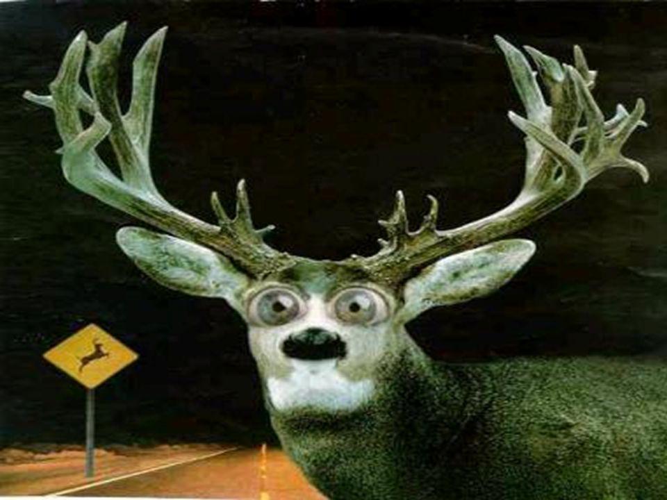 Deer in headlamps slide here.