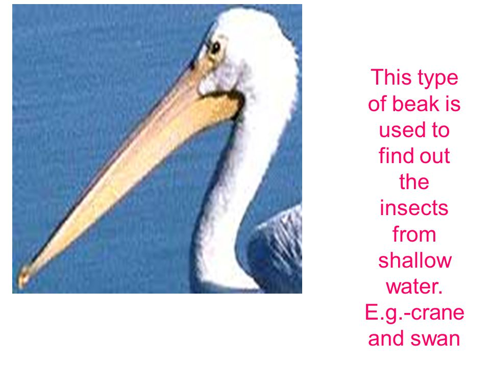 This type of beak is used tearing and cutting the meat.E.g.- eagle and owl