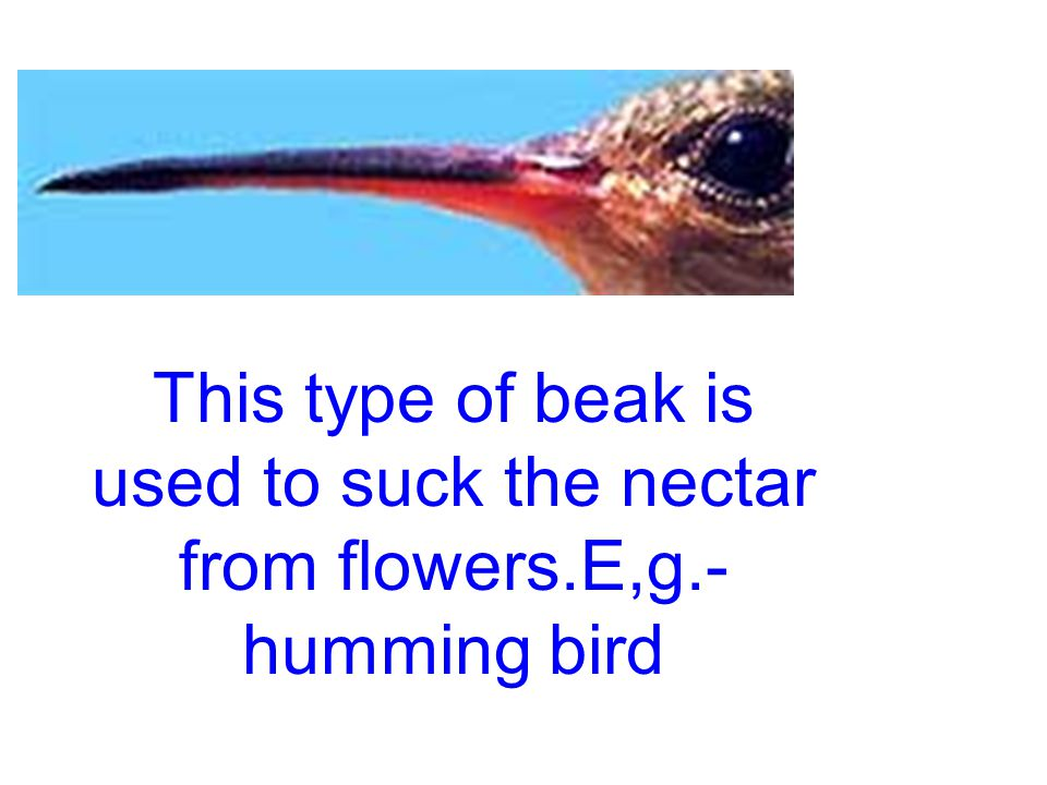 This type of beak is used to find out the insects from shallow water. E.g.-crane and swan