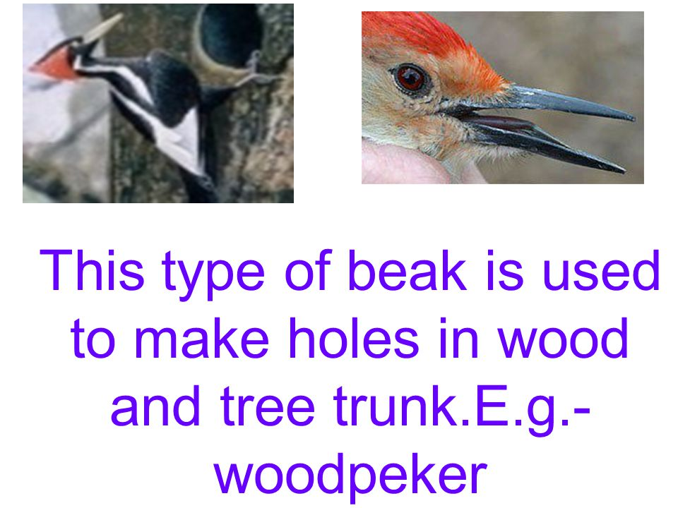 This type of beak is used to cut and eat many kinds of food.E.g.- crow.
