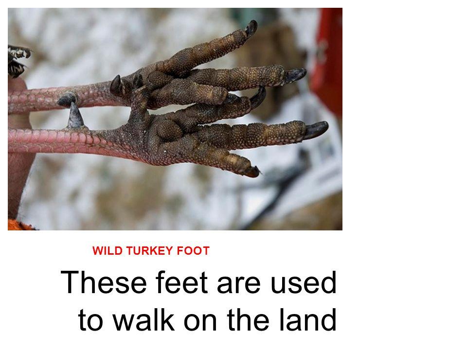 BALD EAGLE FOOT HAWK FOOT