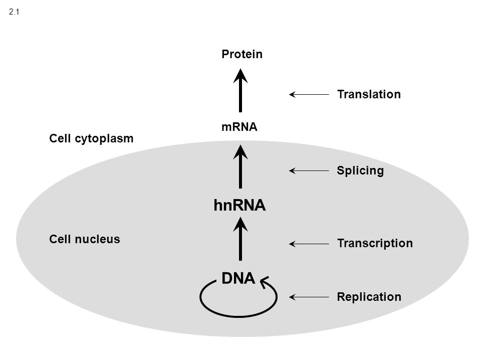 2.1 DNA Replication Transcription hnRNA Splicing Translation Cell nucleus Cell cytoplasm mRNA Protein