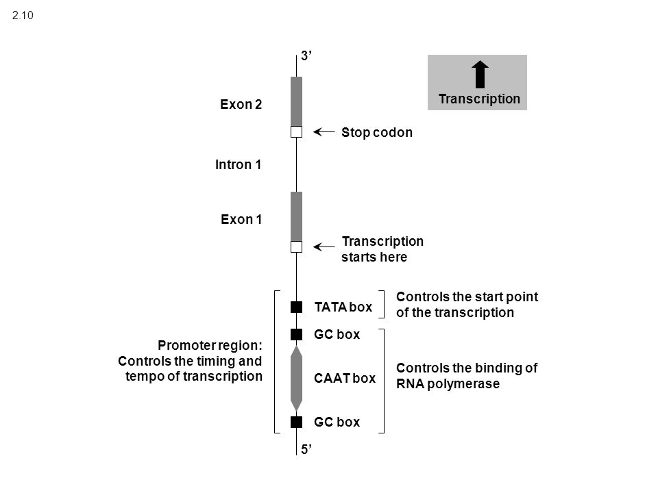 2.10 Transcription 3' 5' Stop codon Transcription starts here TATA box GC box CAAT box GC box Controls the start point of the transcription Controls the binding of RNA polymerase Promoter region: Controls the timing and tempo of transcription Exon 2 Exon 1 Intron 1