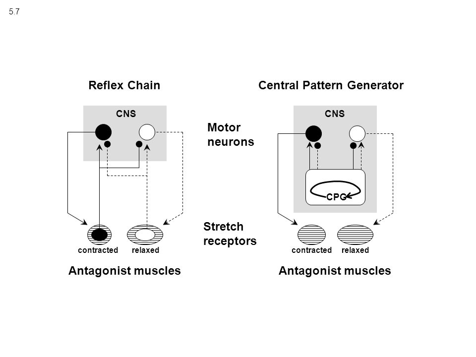5.7 Reflex Chain Motor neurons Stretch receptors contractedrelaxed Antagonist muscles Central Pattern Generator CNS CPG contractedrelaxed Antagonist muscles CNS