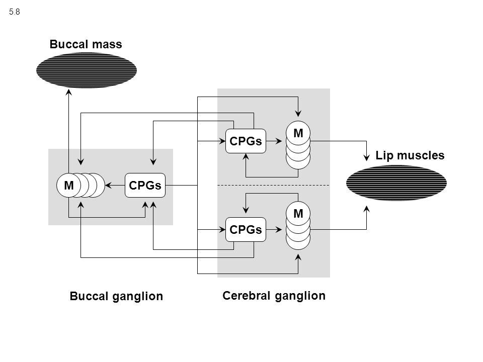 5.8 MCPGs M M Buccal ganglion Cerebral ganglion Buccal mass Lip muscles