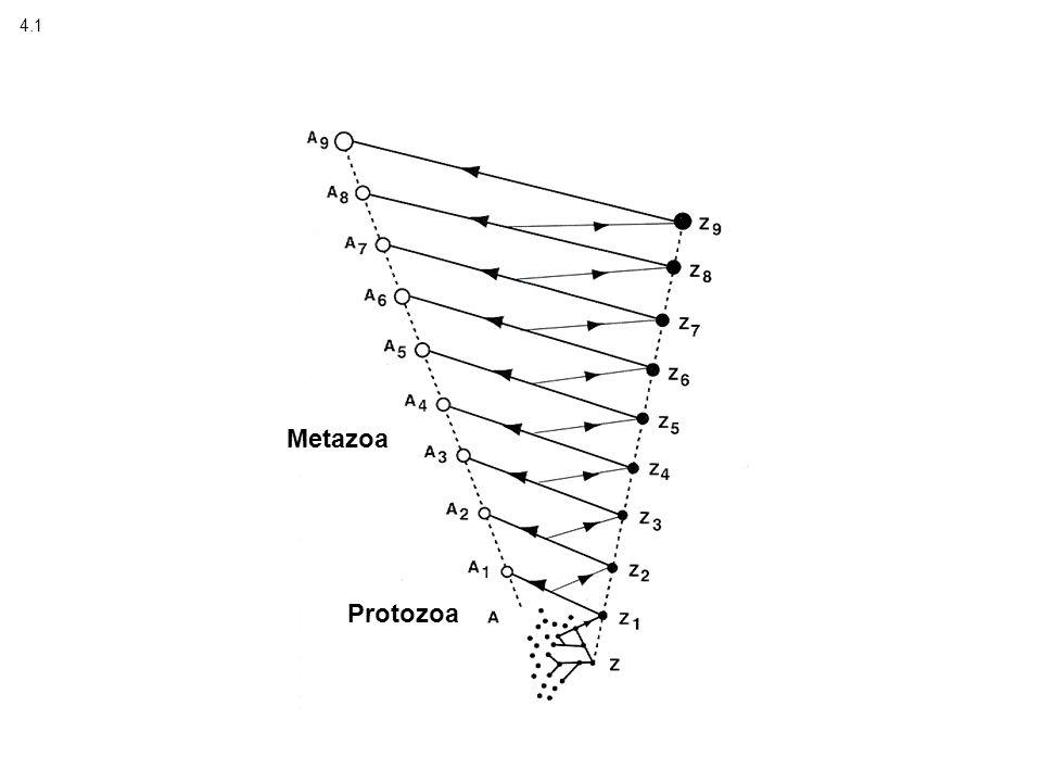 4.1 Protozoa Metazoa