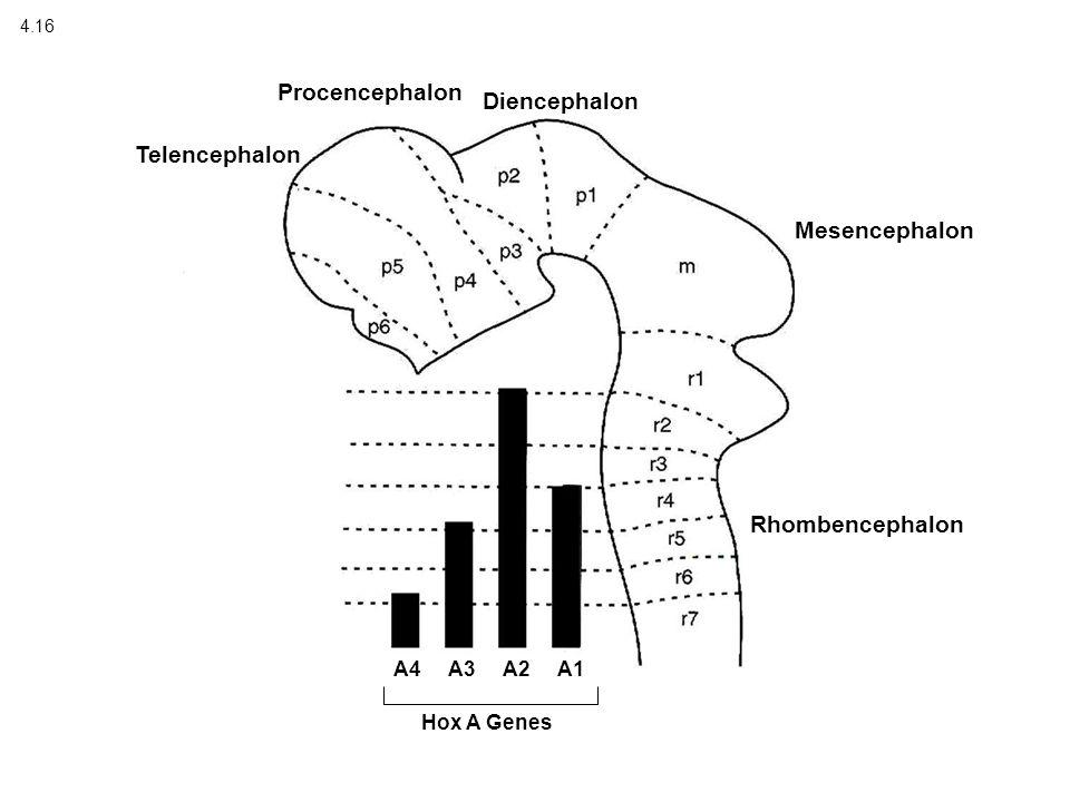 4.16 Telencephalon Procencephalon Diencephalon Mesencephalon Rhombencephalon A4 A3 A2 A1 Hox A Genes