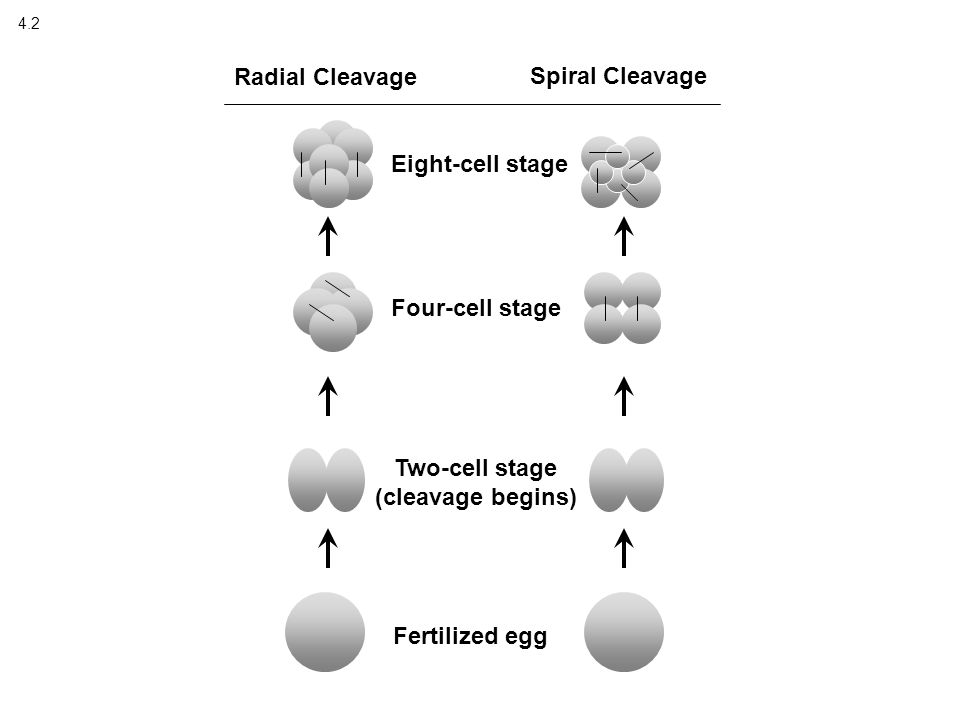 4.2 Fertilized egg Two-cell stage (cleavage begins) Four-cell stage Eight-cell stage Radial Cleavage Spiral Cleavage
