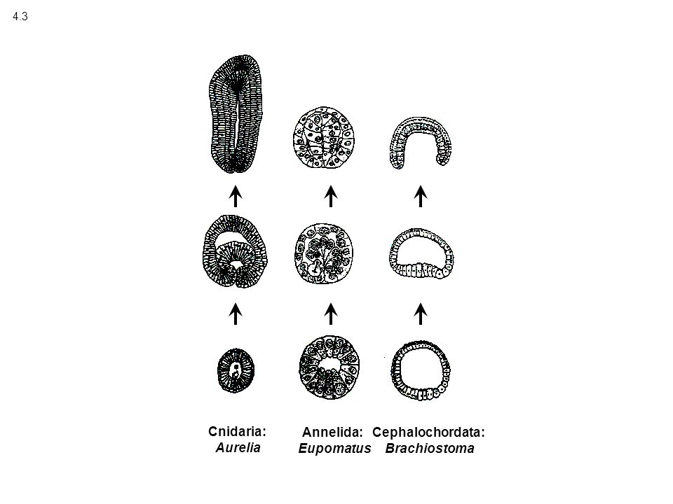 4.3 Cnidaria: Aurelia Annelida: Eupomatus Cephalochordata: Brachiostoma