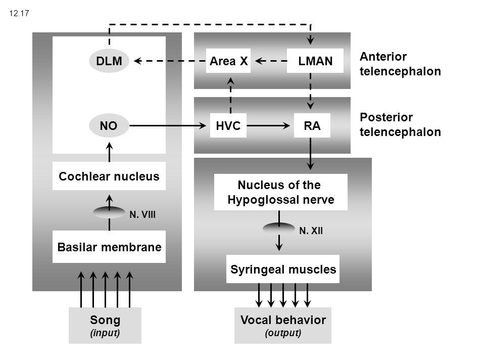 12.17 Song (input) Vocal behavior (output) Basilar membrane Cochlear nucleus DLM NO Posterior telencephalon Anterior telencephalon HVCRA Nucleus of the Hypoglossal nerve Syringeal muscles LMAN N.