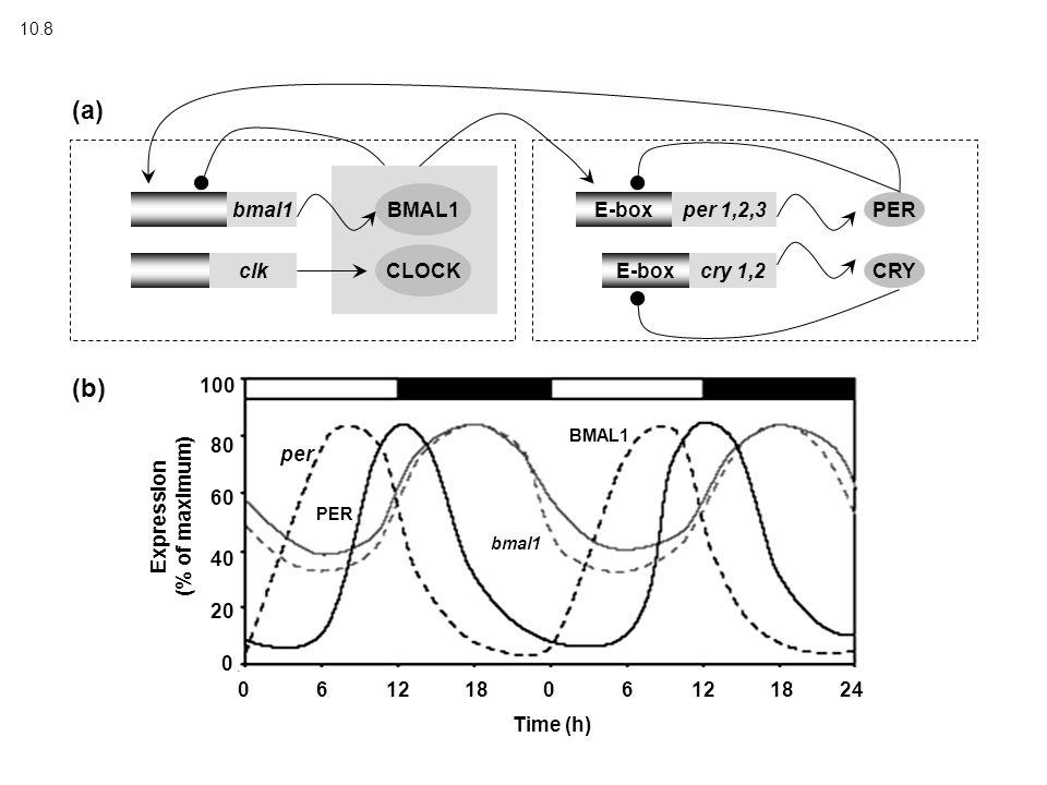 10.8 bmal1 clk CLOCK BMAL1 E-box per 1,2,3 cry 1,2 PER CRY (a) (b) Expression (% of maximum) 100 80 60 40 20 0 Time (h) 06121806121824 per PER BMAL1 b