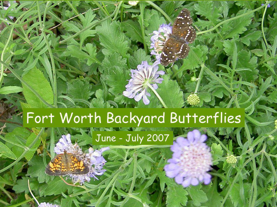Fort Worth Backyard Butterflies June - July 2007