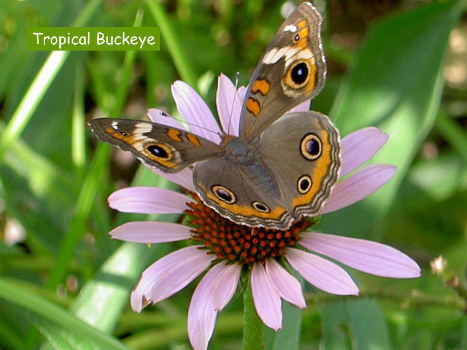 Tropical Buckeye
