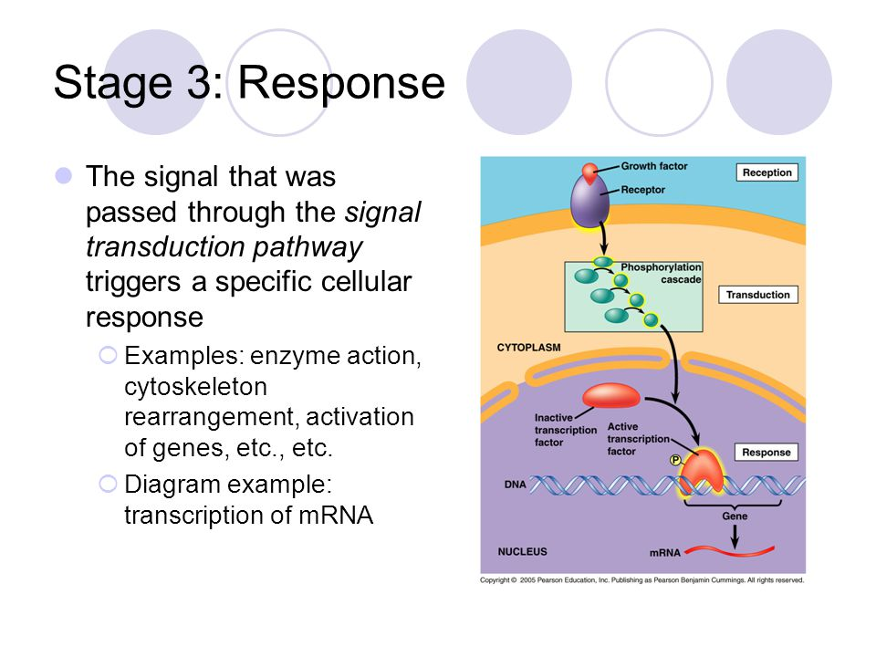 Stage 3: Response The signal that was passed through the signal transduction pathway triggers a specific cellular response  Examples: enzyme action, cytoskeleton rearrangement, activation of genes, etc., etc.