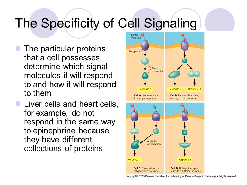 The Specificity of Cell Signaling The particular proteins that a cell possesses determine which signal molecules it will respond to and how it will respond to them Liver cells and heart cells, for example, do not respond in the same way to epinephrine because they have different collections of proteins