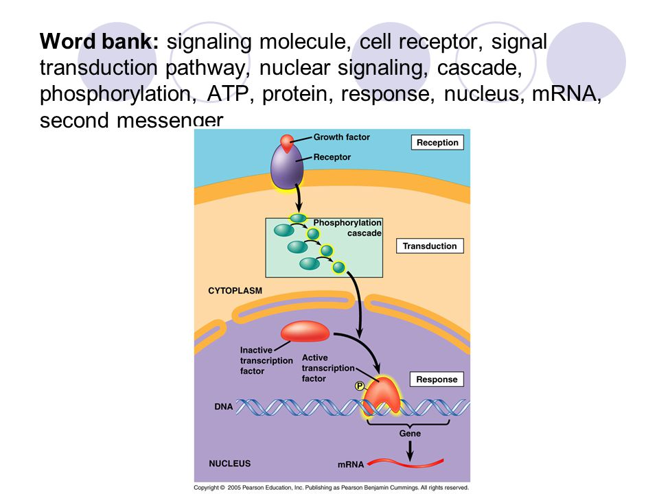 Word bank: signaling molecule, cell receptor, signal transduction pathway, nuclear signaling, cascade, phosphorylation, ATP, protein, response, nucleus, mRNA, second messenger
