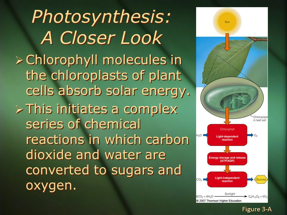 Photosynthesis: A Closer Look  Chlorophyll molecules in the chloroplasts of plant cells absorb solar energy.