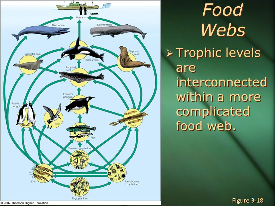 Food Webs  Trophic levels are interconnected within a more complicated food web. Figure 3-18