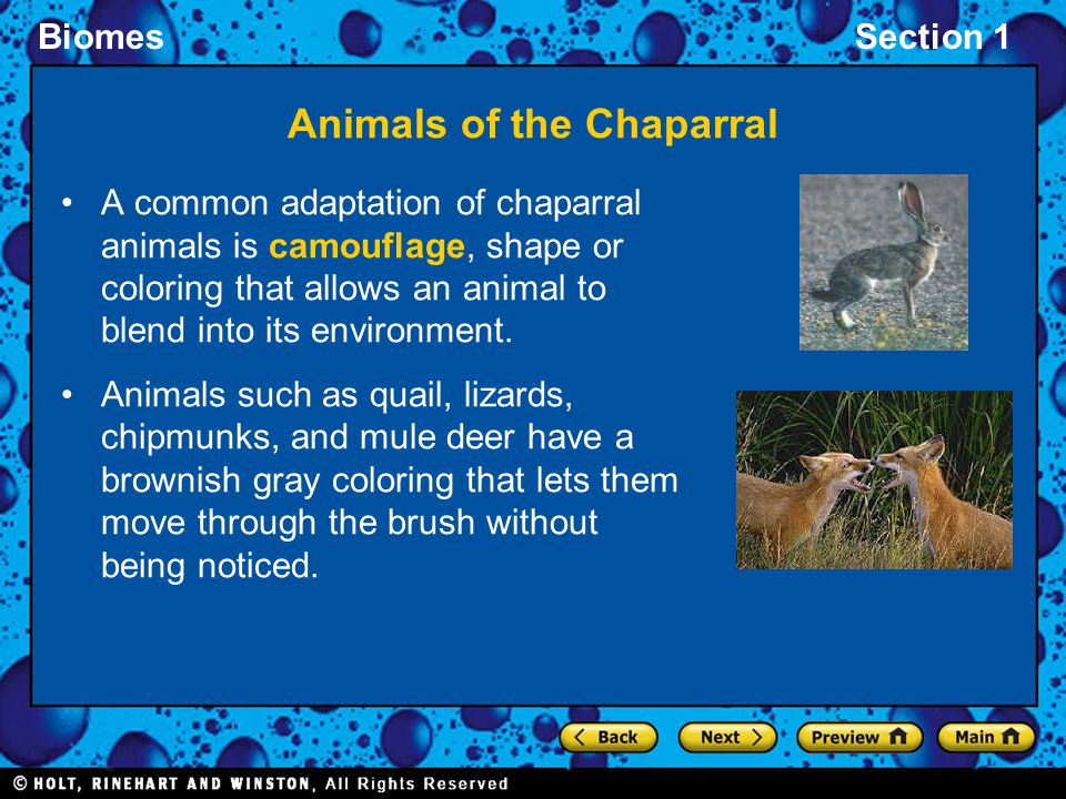BiomesSection 1 Animals of the Chaparral A common adaptation of chaparral animals is camouflage, shape or coloring that allows an animal to blend into